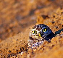 Owl in the Burrow by Sue  Cullumber