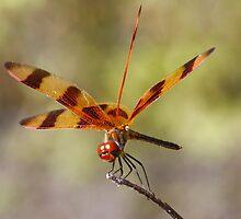 Dragonfly by Michael Damanski