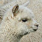 Little Alpaca by Lance Leopold