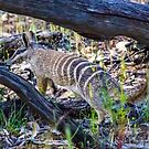 Numbat 10 by Rick Playle