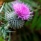 Scots Thistle by kajo