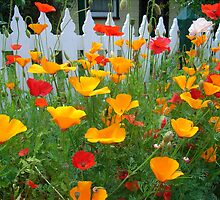 Poppies by JuliaWright