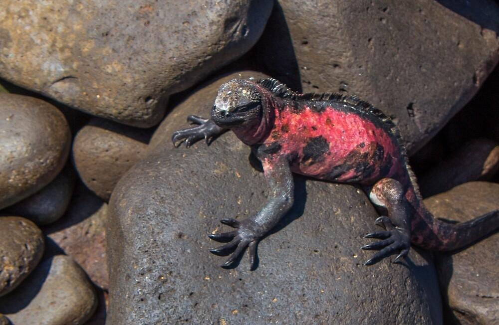 Marine Iguana on Espanola Island [Galapagos Nat. Park] by Yukondick