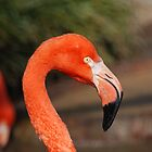 Orange Flamingo by ssphotographics