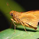 Orange Skipper by ssphotographics