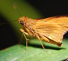 Orange Skipper by ssphotographics
