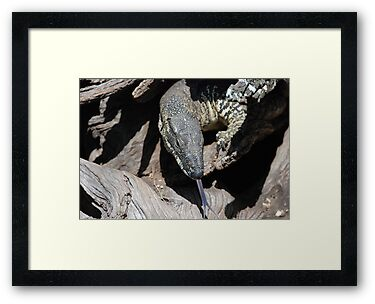 Lace Monitor by ssphotographics
