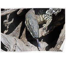 Lace Monitor Poster