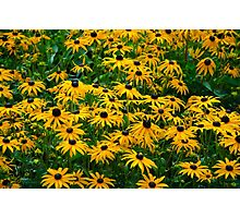 Black Eyed Daisies Photographic Print