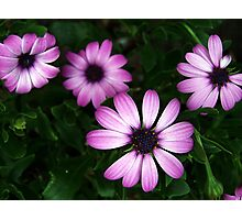 Pink Daisy Flowers Photographic Print