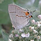 Gray Hairstreak by Luann Gingras