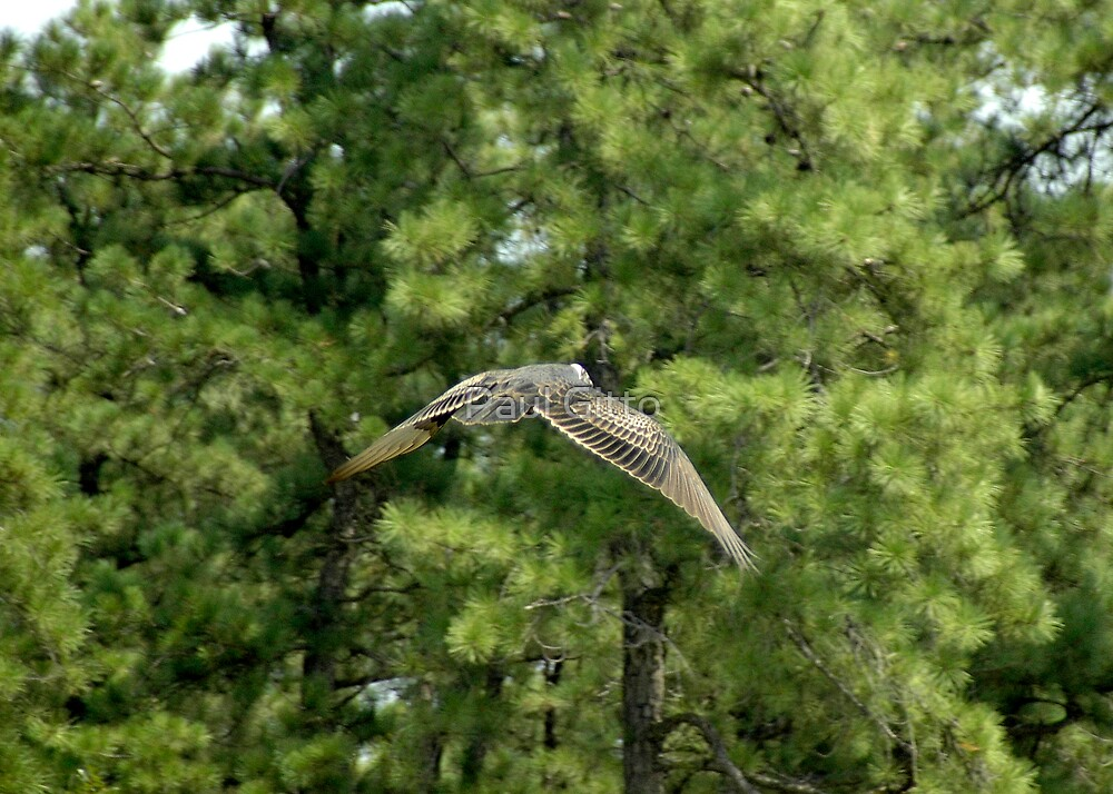 Gliding Turkey Vulture by Paul Gitto