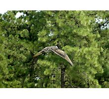 Gliding Turkey Vulture Photographic Print