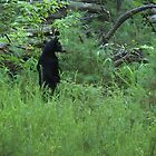 black bear standing by dc witmer