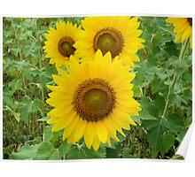 Multi Sunflowers Poster