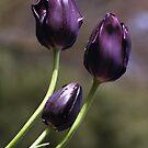 Burgundy Tulips by Bev Pascoe