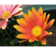 Bright and Beautiful - Bella Cape Daisies Photographic Print