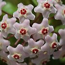 Hoya Waxflower by Joy Watson