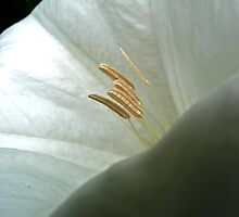 Moonflower Close-Up by Victoria DeMore