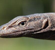 Black Headed Monitor - Varanus tristis by Steve Bullock