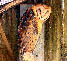 Barn Owl by tkrosevear