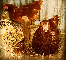 Rustic Chickens by Samben Photography