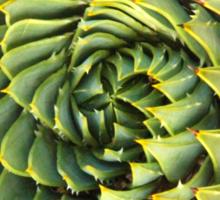Spiral succulent Sticker