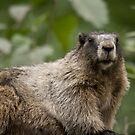 Marmot - Aug 9 by zpaperboyz