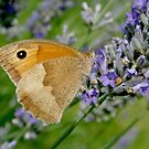 Meadow Brown on Lavender by GregV