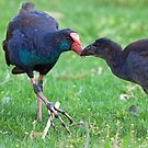 Purple Swamphen feeding Chick by mncphotography