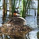Great Crested Grebe by mncphotography