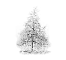 Fir Tree Photographic Print