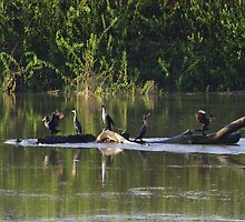 5 Cormorants On The River Log by Happystiltskin