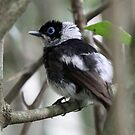 Pied Monarch by triciaoshea