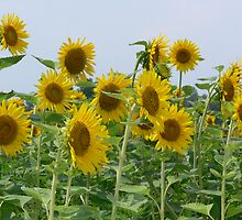 Sun Flowers in feild by Howard Clem