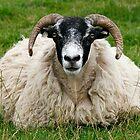 Sheep by kajo