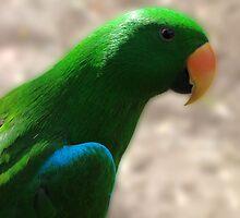 """Eclectus Parrot - """"Ecky"""" - Quindalup Fauna Park by Coralie Plozza"""
