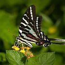 Zebra Swallowtail I by Lisa G. Putman