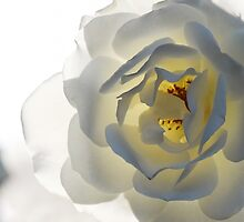 White Rose by Deanna Gardam