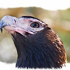 Wedgetail Eagle by Wendy  Slee