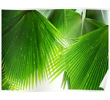Palm Leaves, Fiji (taken lying underneath the tree looking directly upwards). Poster