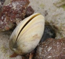 Port Hughes Beach Shell Sticker