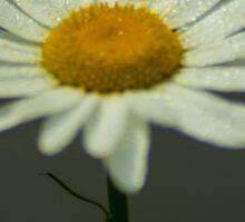 Lightning Bug on a Wet Daisy (1) Sticker