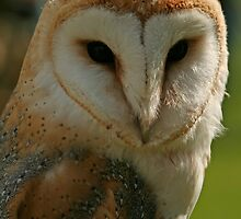 barn owl by Ken McKillop