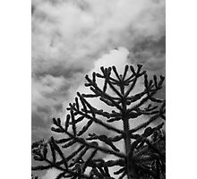 Monkey Puzzle Photographic Print