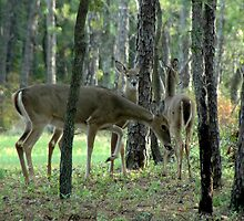 Mom & Fawns - 2 by Paul Gitto
