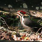 Woody Woodpecker by Mountaineer