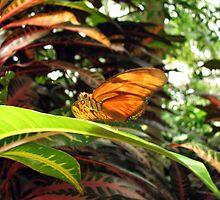 Banded Orange Butterfly by Stevesphotoz