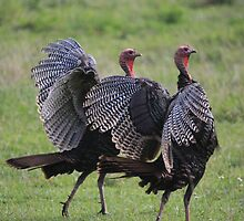 Twin Turkeys by Mountaineer