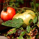 Tomatoes in Red 'n Green by Margie Avellino
